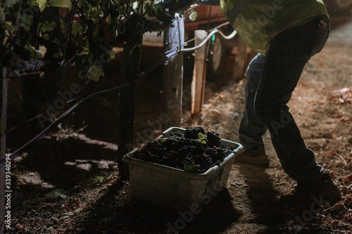 Red grapes close up with immigrant hands at dawn harvest in wine country Fototapeta