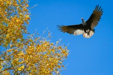 Low Angle View Of Vulture Flying By Autumn Tree Against Clear Blue Sky