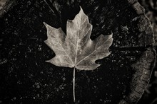 High Angle View Of Dry Maple Leaf On Tree Stump
