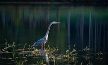 Great Blue Heron Fishing In Ma...