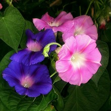 Close-up Of Morning Glories Bl...