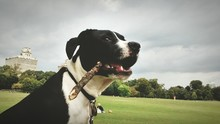 Dog Carrying Stick In Mouth At Park
