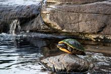 Turtle On Rock In Lake