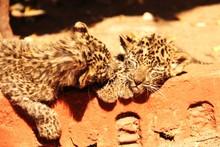 Close-up Of Leopard Cubs Sleep...