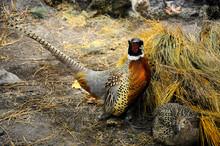 A Stuffed Pheasant On Display