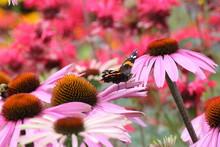 Butterfly On Eastern Purple Coneflowers