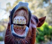 Close-up Of Horse Teeth