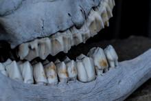 Animal Bones And Teeth Close Up Jaw Of Deer. Large Teeth From The Skull Of A Herbivore. Bones And Teeth Texture.