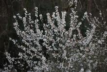 Printemps Paysage Cerisier En Fleurs En Nouvelle Aquitaine