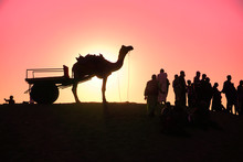 Silhouette Of Camel In The Des...