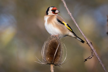 Close-up Of Gold Finch On Dry Thistle