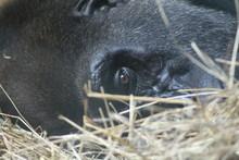 Gorilla Resting On Hay