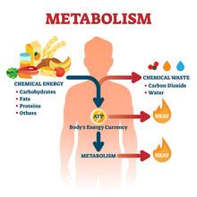 Metabolism Vector Illustration...