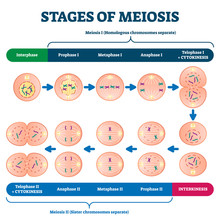 Stages Of Meiosis Vector Illus...