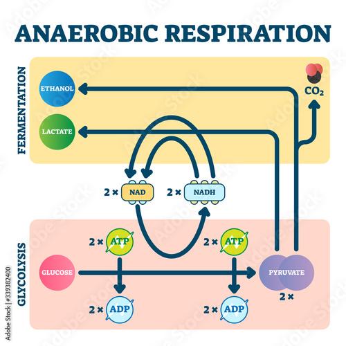 Anaerobic respiration vector illustration Canvas Print