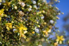 Creosote Bush, Larrea Tridentata, A  Staunch Contender For Paragon Of Southern Mojave Desert Native Plants, Blossoms In The Fringes Of Twentynine Palms.