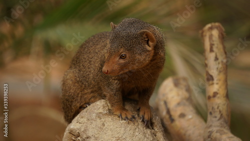 Fotografie, Tablou Mongoose Sitting Branch At Forest