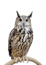 Owl Isolated On White Background Whit Clipping Path.