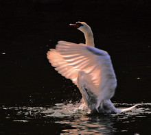 Swan Flapping Wings On Lake