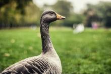 Close-up Of Greylag Goose On Grassy Field