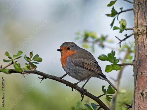 Fototapety, obrazy: European robin (Erithacus rubecula)