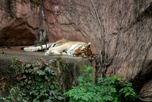 Tiger Sleeping On Rock At Forest