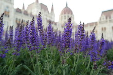 Close-up Of Lavender Flowers Growing At Hungarian Parliament Building