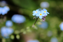 Forget-me-not Blooming Outdoors
