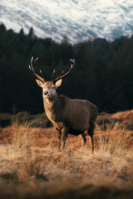 Wild Deer With Beautiful Large...