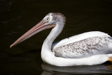 Close-up Of Pelican Swimming In Water
