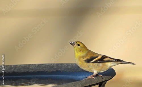 Fotografia, Obraz Close-up Of American Goldfinch Drinking Water From Container