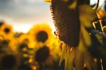 Close-up Of Honeybee Pollinating On Sunflower