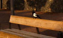 Black Billed Magpie Perching On Wooden Bench