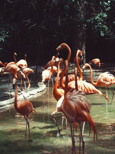 Flamingos On Field And Lake