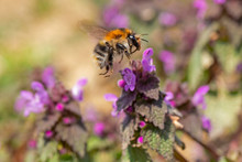 Bombus Pascuorum, The Common Carder Bee, Is A Species Of The Apidae Family Found In Most Of Europe. Common Carder Bee On Lamium Purpureum Flower