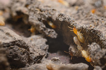Close-up Of Worker Termites On...
