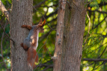 Close-up Of One Red Squirrel Climbing On The Tree Trunk In The Forrest