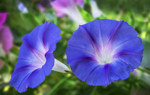 Close-up Of Blue Morning Glori...