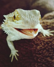 Close-up Of Bearded Dragon On Field