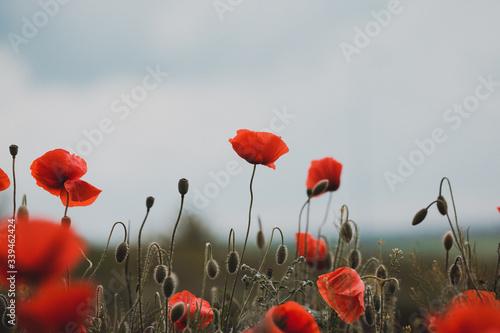Fototapeta the poppies field obraz na płótnie