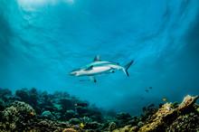 Grey Reef Shark Swimming Over ...
