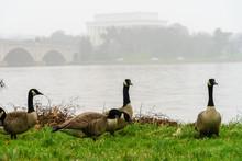 Close-up Of Canada Geese At Riverbank