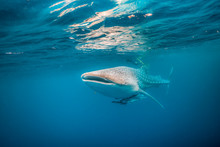 Whale Shark Swimming Close To ...