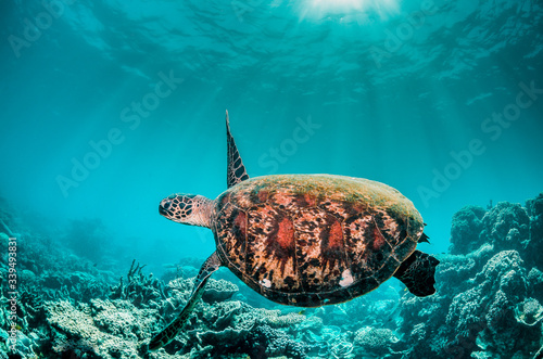 Fotografie, Obraz Green turtle swimming among colorful coral reef formations in the wild