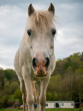 White Horse In The Field. Youn...