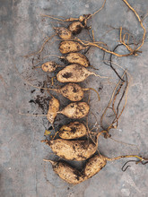 Sweet Potato Harvest Flat Lay Photo On Concrete Background