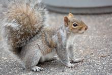 Squirrel Looking Away