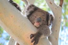 Portrait Of Koala On Tree