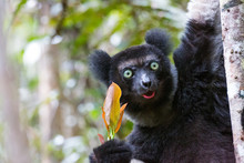 Indri Lemur Eating Leafs In Ra...