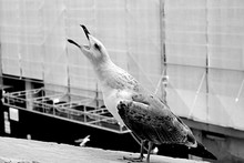 Close-up Of Shouting Seagull